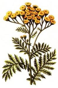 Лекарственное растение пижма обыкновенная