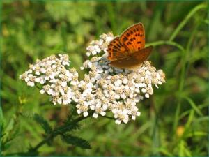 Тысячелистник лекарственный - многолетнее травяное растение