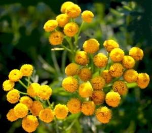 Пижма обыкновенная - многолетнее лекарственное растение
