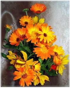 """Календула, в народе ноготок """"цветок солнца"""""""