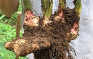 Корень имбиря обладает уникальными целебными и пищевыми свойствами