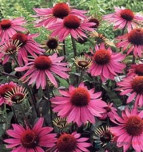 Эхинацея пурпурная - лекарственное и декоративное растение