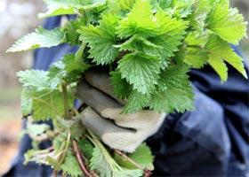 Весной очень полезны салаты из крапивы