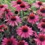 Эхинацея пурпурная не токсична, но она имеет ряд противопоказаний