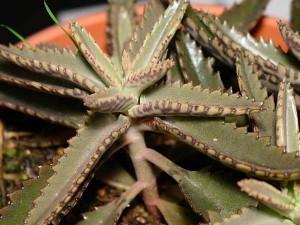 Комнатное растение каланхоэ поможет вам быть здоровыми