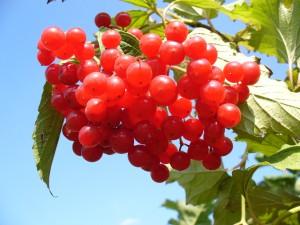 Калина красная обладает лечебными свойствами